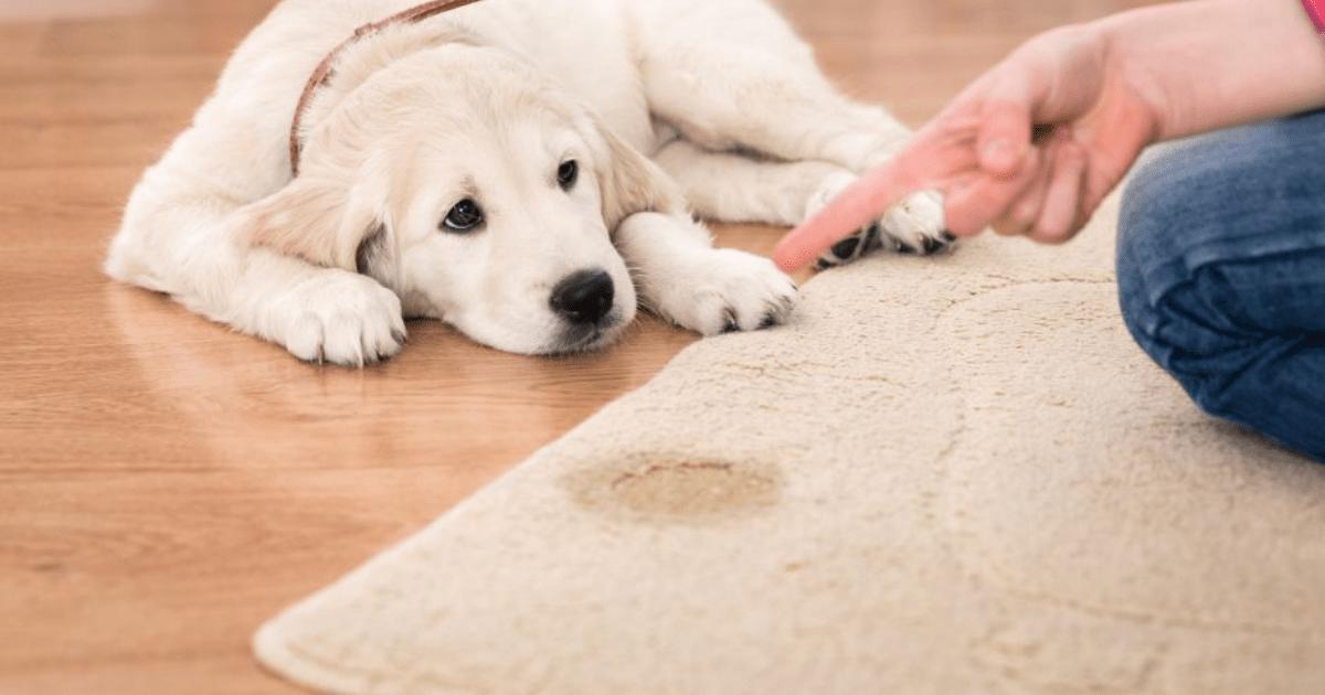 webinar gratuito cane che sporca in casa