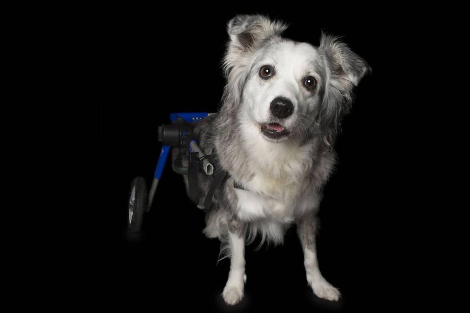 Tecnico cinofilo per cani disabili